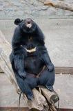 Ο αστείος ασιατικός Μαύρος αντέχει Στοκ Φωτογραφία