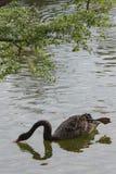 Ο αστείος μαύρος κύκνος κολυμπά με ένα πόδι αυξάνει επάνω στο επιπλέον σώμα στο νερό ή po Στοκ εικόνες με δικαίωμα ελεύθερης χρήσης