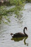 Ο αστείος μαύρος κύκνος κολυμπά με ένα πόδι αυξάνει επάνω στο επιπλέον σώμα στο νερό ή po Στοκ Φωτογραφία