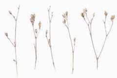 Ο αφηρημένος καφετής κλαδίσκος του ξηρού θάμνου με τους μικρούς ανοικτούς σπόρους καρύων, λουλούδια, απομόνωσε τα στοιχεία στο άσ Στοκ Εικόνες