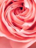 Ο αφηρημένος μακρο πυροβολισμός όμορφου ρόδινου αυξήθηκε λουλούδι Floral backg Στοκ Φωτογραφίες
