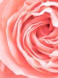 Ο αφηρημένος μακρο πυροβολισμός όμορφου ρόδινου αυξήθηκε λουλούδι Floral backg Στοκ Εικόνα