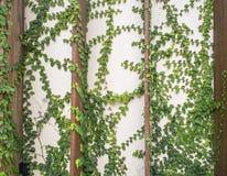 Ο αφηρημένος πράσινος τοίχος της κολοκύθας κισσών για το υπόβαθρο, επιλέγει την εστίαση Στοκ εικόνες με δικαίωμα ελεύθερης χρήσης