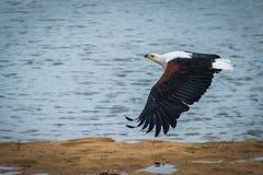 Ο αφρικανικός αετός Haliaeetus ψαριών vocifer Στοκ Εικόνες