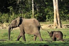 Ο αφρικανικός δασικός ελέφαντας, cyclotis africana Loxodonta, (δασικός ελέφαντας κατοικιών) της λεκάνης του Κονγκό Στο Dzanga αλα Στοκ Εικόνα