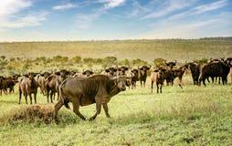 Ο αφρικανικός βούβαλος σε Murchison πέφτει εθνικό πάρκο, Ουγκάντα Στοκ εικόνα με δικαίωμα ελεύθερης χρήσης