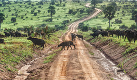 Ο αφρικανικός βούβαλος σε Murchison πέφτει εθνικό πάρκο, Ουγκάντα Στοκ φωτογραφίες με δικαίωμα ελεύθερης χρήσης