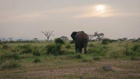 Ο αφρικανικός ελέφαντας πηγαίνει μακριά στο υπόβαθρο των ακακιών και των Μπους στη σαβάνα φιλμ μικρού μήκους