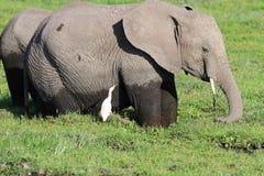Ο αφρικανικός ελέφαντας στο έλος Στοκ Φωτογραφία