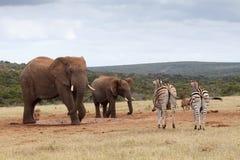 Ο αφρικανικός ελέφαντας του Μπους αυτό είναι το νερό μου σήμερα Στοκ Εικόνες
