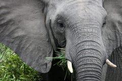 Ο αφρικανικός ελέφαντας τρώει τη χλόη Στοκ Φωτογραφίες