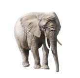ο αφρικανικός ελέφαντας & Στοκ Φωτογραφία