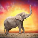 Ο αφρικανικός ελέφαντας Στοκ Φωτογραφία