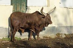 Ο αφρικανικός καφετής ταύρος Ankole Watusi, watusi Bos taurus ή Ankole Longhorn στηρίζεται στον ήλιο Στοκ Εικόνα