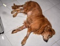Ο αλατούχος υποδόρια στα σκυλιά Στοκ Φωτογραφία
