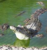 Ο αλλιγάτορας βρίσκεται στο νερό Στοκ εικόνα με δικαίωμα ελεύθερης χρήσης