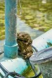 Ο βάτραχος αναπαράγει Στοκ φωτογραφία με δικαίωμα ελεύθερης χρήσης
