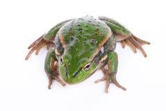 ο βάτραχος απομόνωσε το &lamb Στοκ Εικόνα