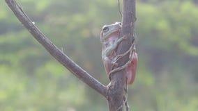 Ο βάτραχος, βάτραχοι, βάτραχοι δέντρων, κλείνει επάνω, αμφίβια απόθεμα βίντεο