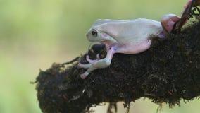 Ο βάτραχος, βάτραχοι, βάτραχοι δέντρων, κλείνει επάνω, αμφίβια φιλμ μικρού μήκους