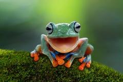 Ο βάτραχος δέντρων, πετώντας βάτραχος ανοίγει το στόμα Στοκ Εικόνα