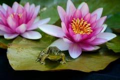 Ο βάτραχος κάθεται γεμίζει lilly μεταξύ των λουλουδιών Στοκ Φωτογραφία
