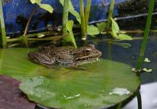 Ο βάτραχος κάθεται σε ένα φύλλο ενός κρίνου νερού Στοκ Φωτογραφία