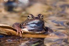 Ο βάτραχος κλίνει στο νερό Στοκ Εικόνες