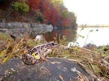 ο βάτραχος πτώσης αφήνει τη λίμνη στοκ εικόνες με δικαίωμα ελεύθερης χρήσης