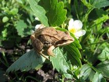 Ο βάτραχος στη χλόη Στοκ Εικόνες