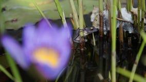 Ο βάτραχος στο έλος Στοκ εικόνα με δικαίωμα ελεύθερης χρήσης