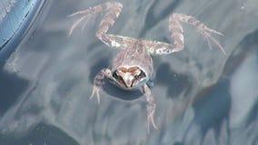 Ο βάτραχος στο νερό απόθεμα βίντεο