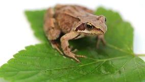 Ο βάτραχος στο πράσινο φύλλο απόθεμα βίντεο