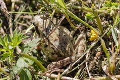 Ο βάτραχος συγχώνευσε με την έκταση και τις δορές Στοκ Εικόνες