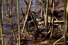 Ο βάτραχος Στοκ εικόνες με δικαίωμα ελεύθερης χρήσης