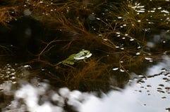 Ο βάτραχος Στοκ Φωτογραφίες