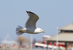 Ο βέβαιος γλάρος πετά Στοκ φωτογραφίες με δικαίωμα ελεύθερης χρήσης