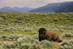 Ο βίσωνας κάθεται στο λιβάδι σε Yellowstone, Ουαϊόμινγκ Στοκ εικόνα με δικαίωμα ελεύθερης χρήσης