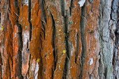 Ο βαμμένος κόκκινος φλοιός ενός δέντρου με το βρύο είναι στενός Στοκ Φωτογραφία