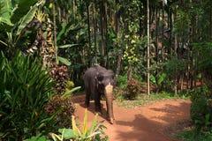 Ο βασιλικός επισημασμένος ελέφαντας ακολουθεί την πορεία στη ζούγκλα Στοκ Εικόνες