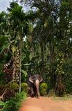 Ο βασιλικός επισημασμένος ελέφαντας ακολουθεί την πορεία στη ζούγκλα Στοκ Φωτογραφίες