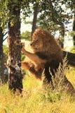 Ο βασιλιάς των λιονταριών Στοκ εικόνα με δικαίωμα ελεύθερης χρήσης