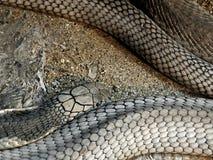 Ο βασιλιάς Cobra ξαπλώνει στην άμμο και την πέτρα Στοκ εικόνες με δικαίωμα ελεύθερης χρήσης