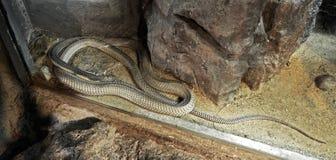 Ο βασιλιάς Cobra ξαπλώνει στο υπόβαθρο άμμου και πετρών Στοκ εικόνες με δικαίωμα ελεύθερης χρήσης