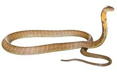 Ο βασιλιάς Cobra Στοκ Εικόνες