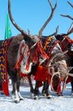 ο Βορράς τρία deers ομορφιάς Στοκ φωτογραφία με δικαίωμα ελεύθερης χρήσης