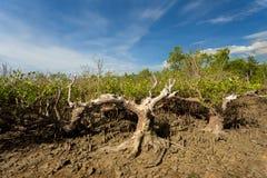 Ο Βορράς Sulawesi, Ινδονησία δέντρων μαγγροβίων στοκ εικόνα με δικαίωμα ελεύθερης χρήσης