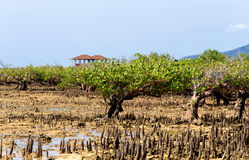 Ο Βορράς Sulawesi, Ινδονησία δέντρων μαγγροβίων στοκ εικόνα