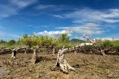 Ο Βορράς Sulawesi, Ινδονησία δέντρων μαγγροβίων στοκ εικόνες