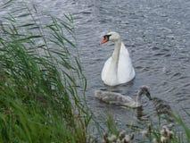 Ο βουβόκυκνος και ο μικρός κύκνος κολυμπούν στον ποταμό στοκ φωτογραφία με δικαίωμα ελεύθερης χρήσης